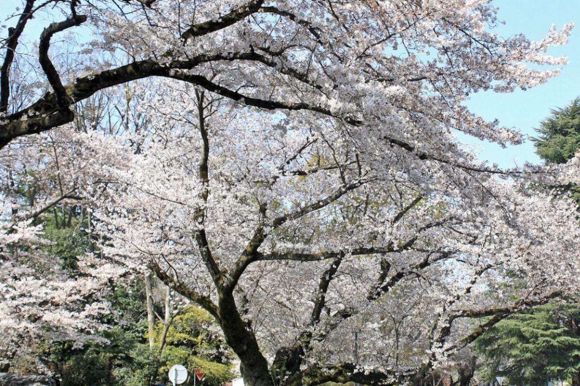 盛況! 2019年東京学芸大学お花見の会